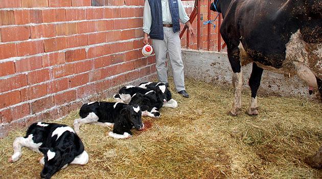 Rusyada bir inek 4üz doğurdu!
