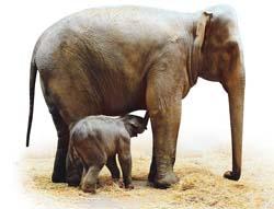 Türkiyede doğan ilk fil
