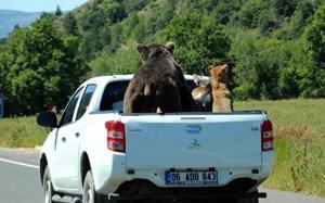 Çankırı'da kamyonet kasasında vahşi hayvan nakli!