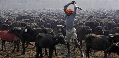 Bu da Hinduların Kurban Bayramı!
