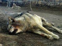 Bitlis'i aç kurtlar bastı