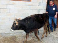 Hakkında soruşturma açılan inek 18 aydır gözaltında