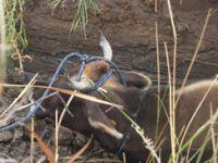 Çankırı'da kanala düşen ineği AFAD kurtardı