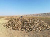 Çankırı'da çiftçinin pancarı tarlada kaldı!