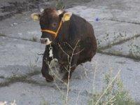 Çankırı'da kaçan kurbanlık dana, 2 kişiyi hastanelik etti!